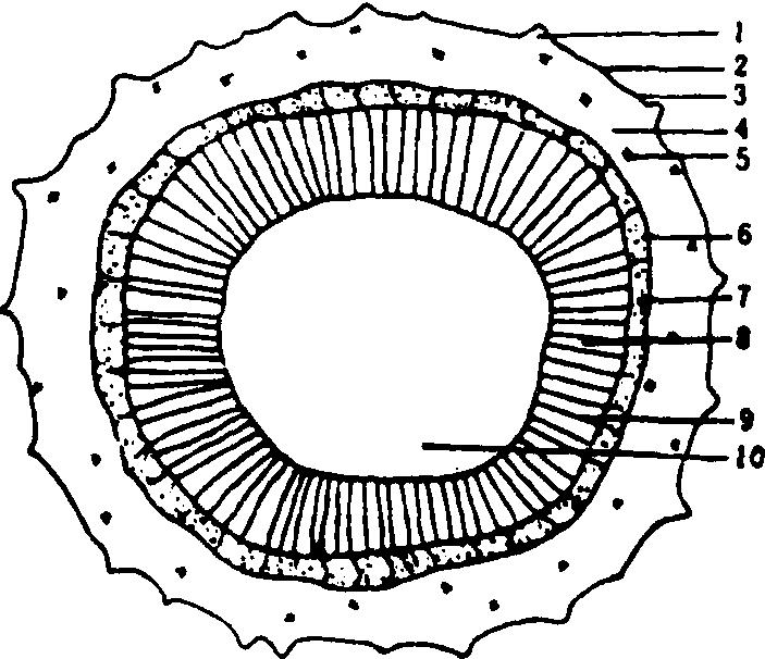 舌的结构图