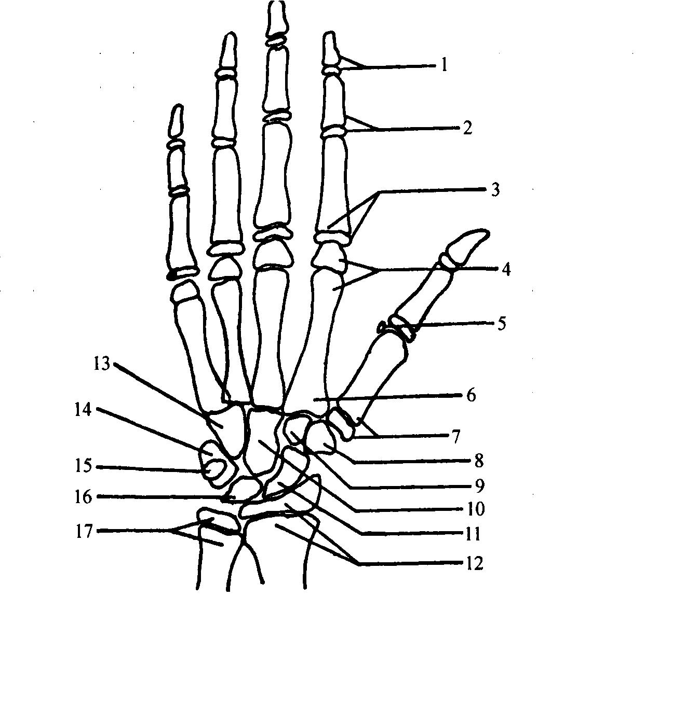 人的骨骼有206块,有长管状骨、短骨及不规则骨等结构。这些骨互相连结构成了人体的骨架,支撑着人的躯体进行各种运动和劳动。骨骼的生长发育很能说明全身的发育情况,因为骨骼与身体的形态、功能发育、整个机体代谢状况有着密切的关系。按照骨骼的生长发育水平和速度评价儿童发育,更能确切反映儿童的发育状况。 骨骼年龄简称骨龄。主要是利用X线摄片,通过观察儿童身体某一部位的骨骼钙化程度,与标准骨龄进行比较,获得发育年龄的一种方法。骨龄不仅能反映个体从出生到完全成熟过程中各个年龄段的发育水平,而且能更确切地反映机体的成熟程度