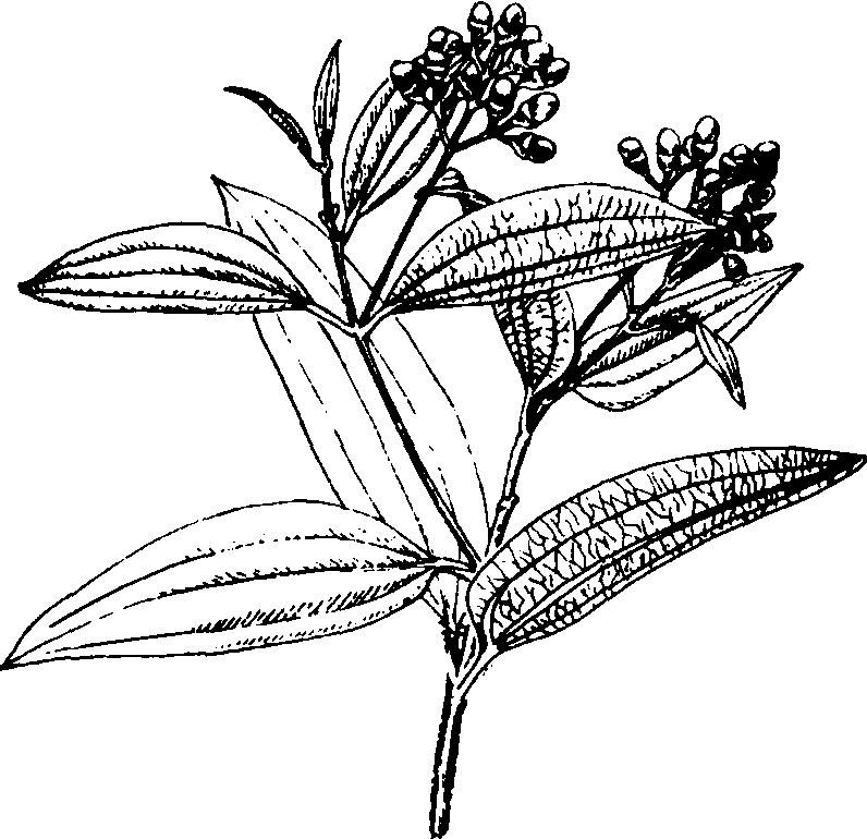 肉桂植物手绘平面图