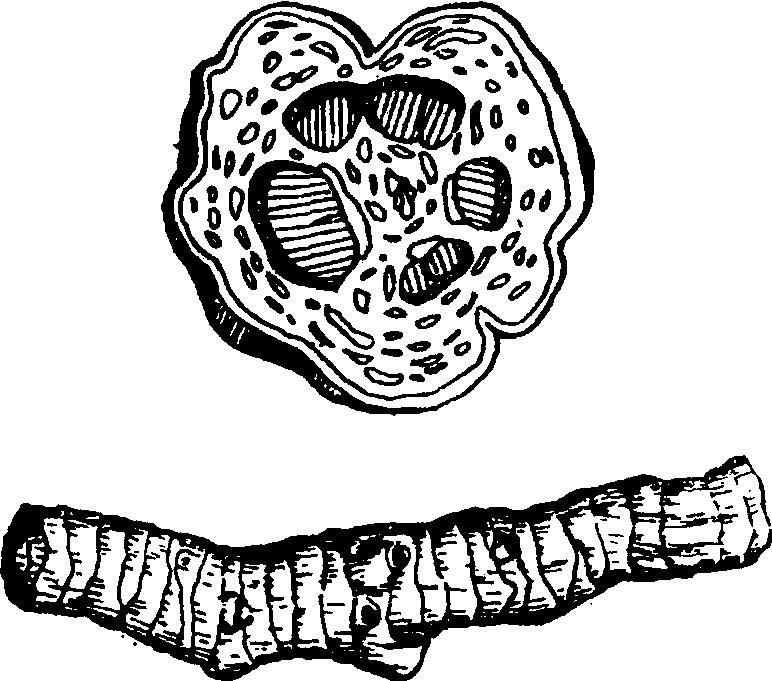 黄连导管手绘图