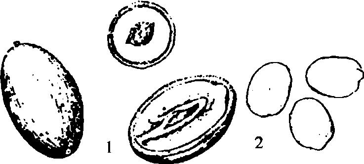 手绘莲子图片素材