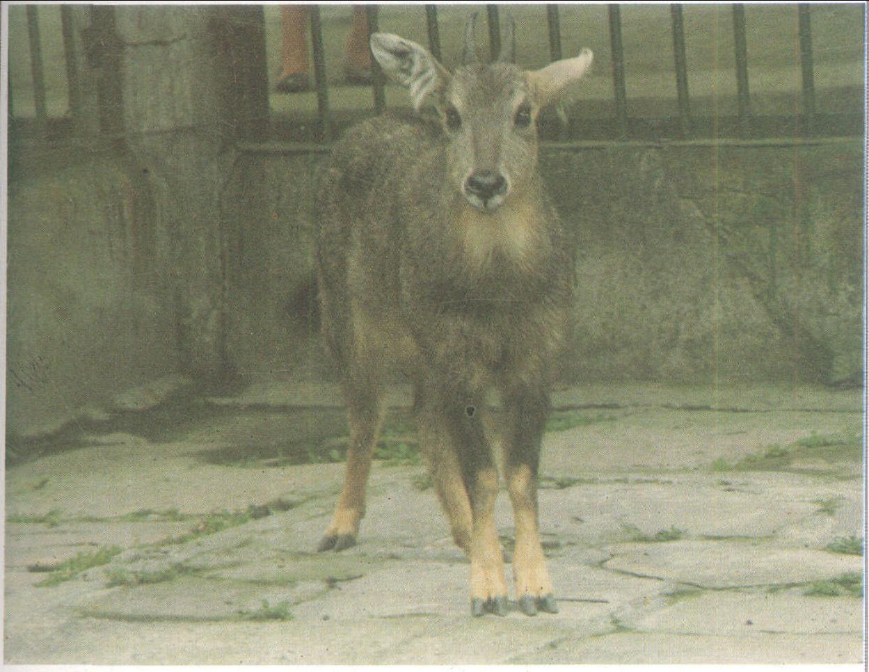 大全 正文               斑羚角 : 【药用来源】 牛科动物斑羚
