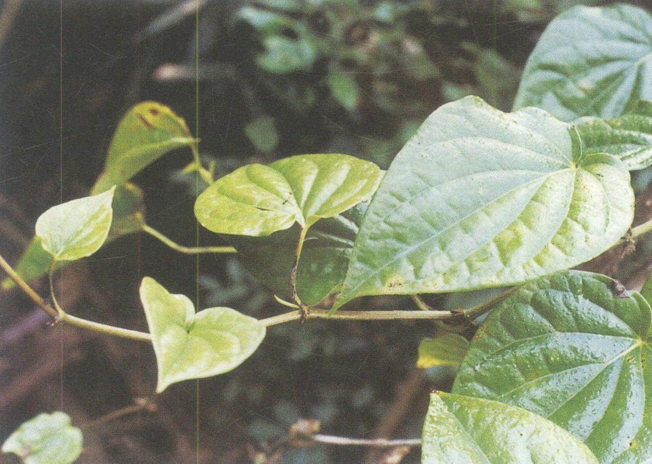 背景 壁纸 绿色 绿叶 盆景 盆栽 树叶 植物 桌面 1277_908