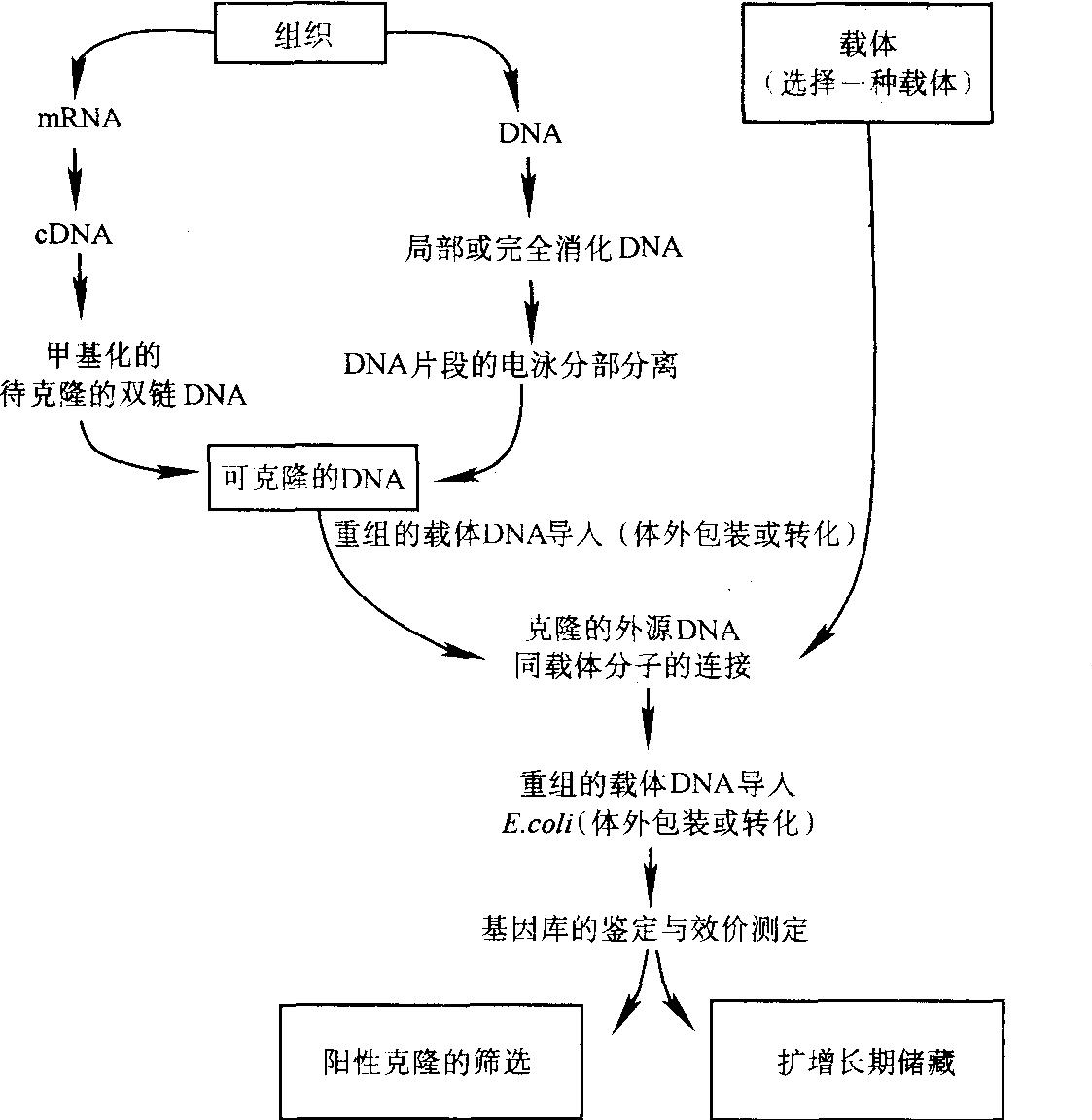 图11-5-1 真核基因分子克隆的基本步骤