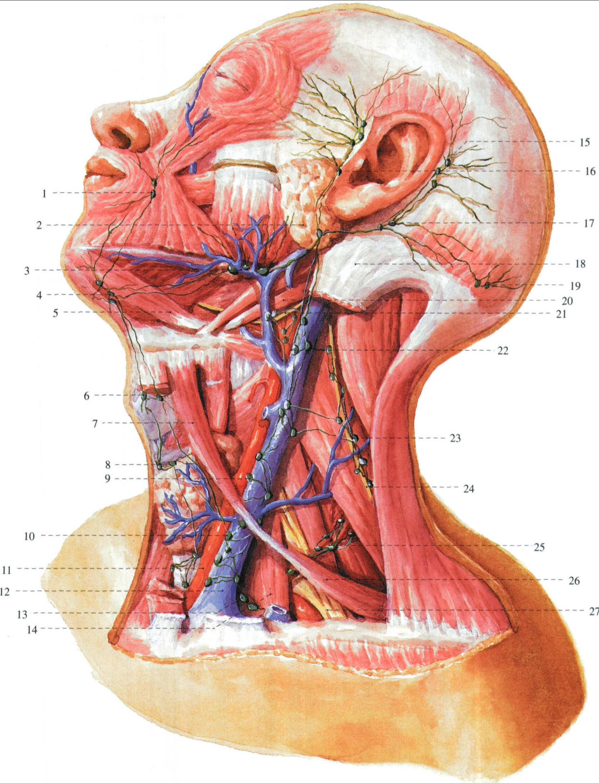 颈部动脉详细解剖图谱