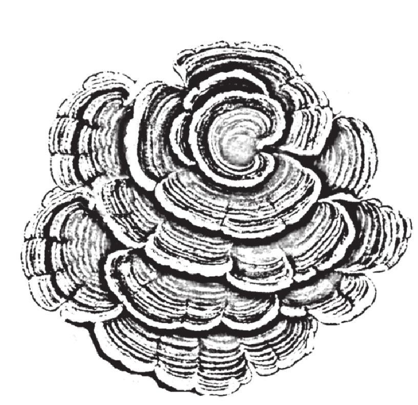 【药材特征】子实体菌盖扇形,半圆形或贝壳形,无柄.