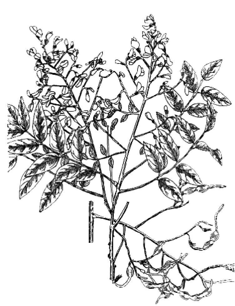 槐树叶 黑白简笔画