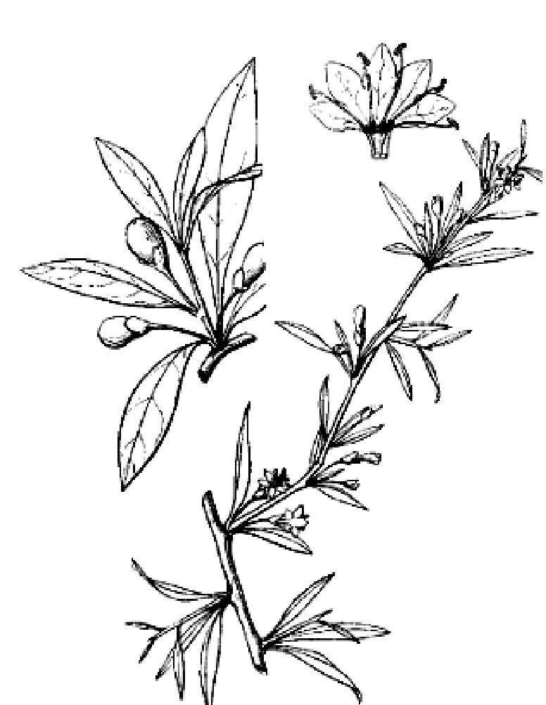 蚕豆生长过程简笔画
